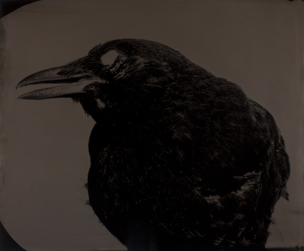 Mary%20Frey%2C%20%3Cb%3E%3Ci%3E%20American%20Crow%2C%20from%20the%20series%20Imagining%20Fauna%3C%2Fi%3E%3C%2Fb%3E%2C%202009%2C%20ambrotype%2C%20The%20Blue%20Sky%20Gallery%20Collection%3B%20Gift%20of%20the%20Artist%2C%20%26%23169%3B%20Mary%20E.%20Frey%2C%202010.16
