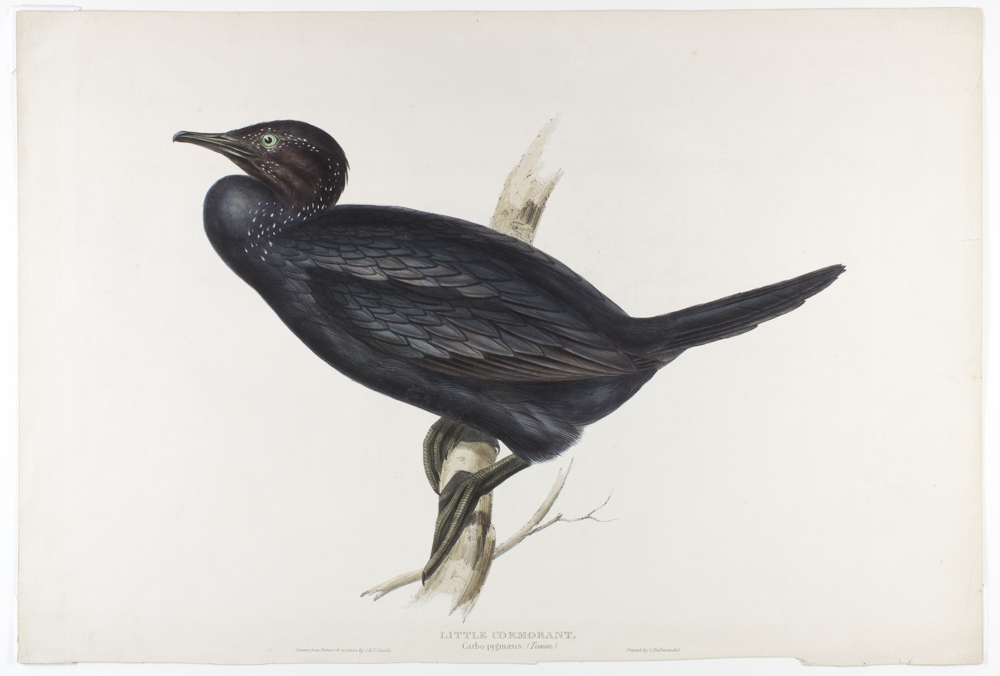 John%20Gould%3B%20Elizabeth%20Gould%2C%20%3Cb%3E%3Ci%3E%20Little%20Cormorant%20%28Carbo%20pygm%26%23230%3Bous.%20Temm.%29%2C%20plate%2064%2C%20vol.%205%20of%20John%20Gould%2C%20The%20Birds%20of%20Europe%2C%20London%3C%2Fi%3E%3C%2Fb%3E%2C%201832%2F1837%2C%20lithograph%20on%20cream%20wove%20paper%20with%20hand%20coloring%2C%20Gift%20of%20Mel%20and%20Donald%20Jenkins%2C%20public%20domain%2C%202012.130.4